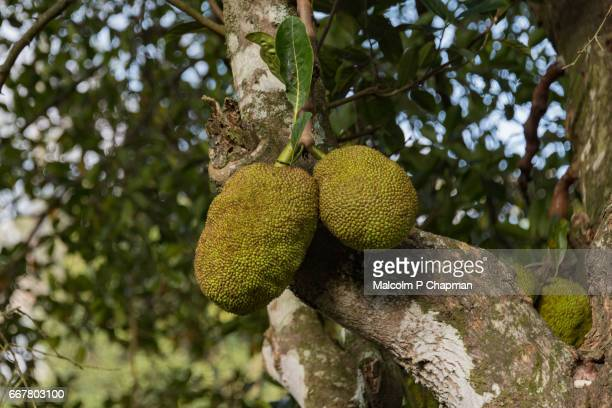 Jackfruit on tree, Ella, Sri Lanka. Now considered a 'Superfood' being rich in potassium, calcium, and iron.