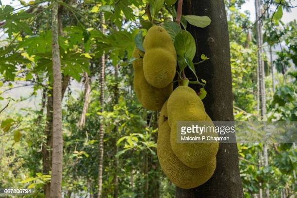 jackfruit on tree, palakkad, india. now considered a 'superfood' being rich in potassium, calcium, and iron. - jackfruit stock photos and pictures