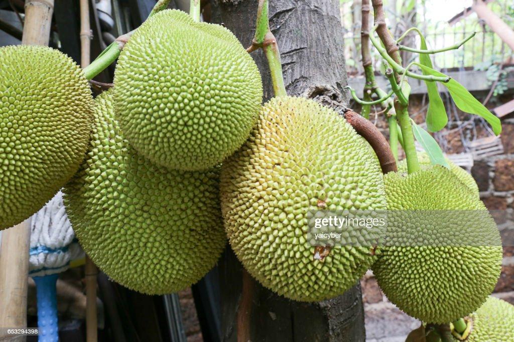 jackfruit en espana