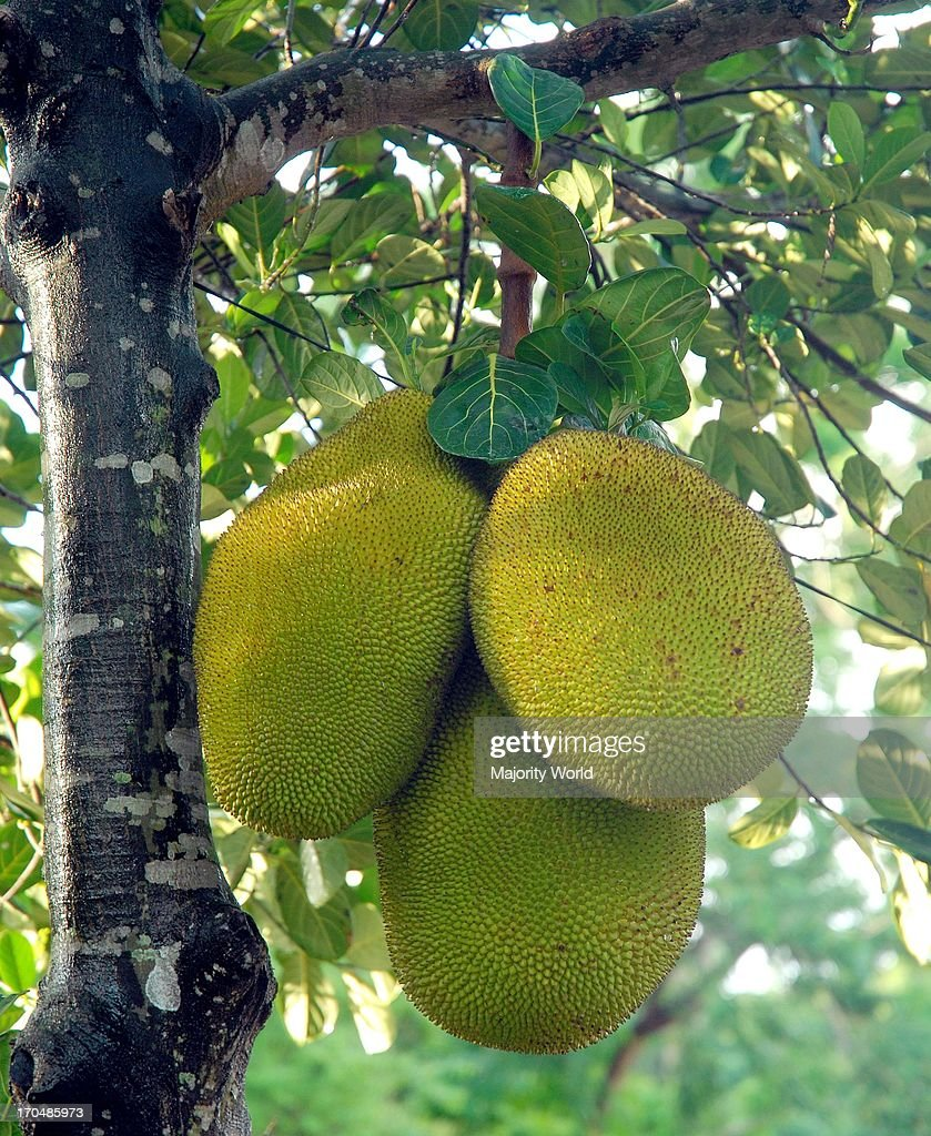 jackfruit largest tree borne fruit Learn how to grow jackfruit tree, taking help of this article growing jackfruit tree is easy if you live in a suitable climate and have space in your garden grow the world's most exotic and largest fruit--jackfruit in your own garden with these tips.