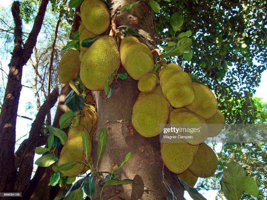 Jackfruits on tree, Brazil : Stock Photo