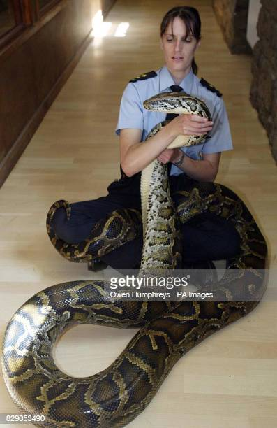 Jackie Paradis from the R.S.P.C.A holds Molly, a 16ft Burmese Python at the Exotic Animal Welfare Trust in Tow Law, County Durham as an RSPCA report,...