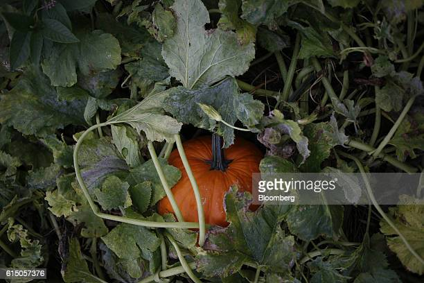 A jacko'lantern pumpkin sits in a Frey Farms Inc pumpkin patch in Poseyville Indiana US on Thursday Oct 13 2016 Frey Farms is a multistate certified...