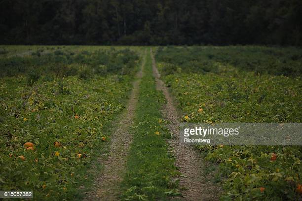 Jacko'lantern pumpkins sit in a Frey Farms Inc pumpkin patch in Poseyville Indiana US on Thursday Oct 13 2016 Frey Farms is a multistate certified...