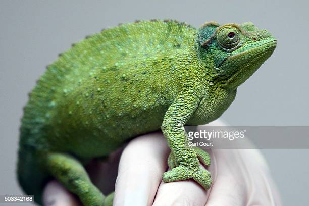 Jackson's chameleon is handled by a zoo keeper during the annual stocktake of animals at ZSL London Zoo on January 4 2016 in London England The zoo's...