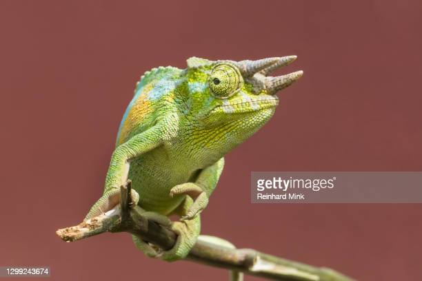 jacksons chameleon - mink animal stock pictures, royalty-free photos & images