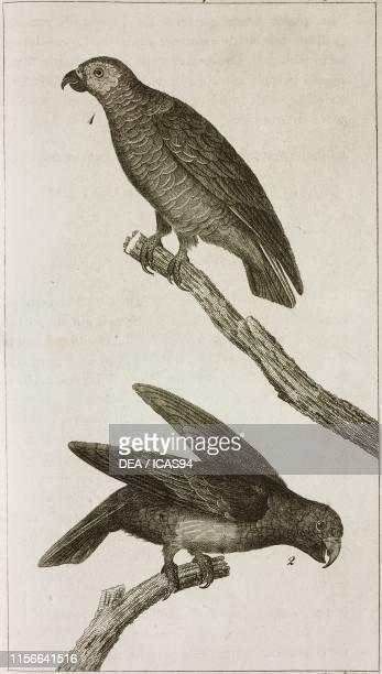 1 Jaco or Grey Parrot 2 Green Parrot engraving by Pietro Zuliani from Le opere di Buffon by GeorgesLouis Leclerc de Buffon and Bernard Germain de...