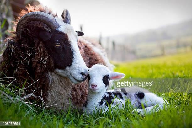jacob pecora femmina con neonato agnello - agnellino foto e immagini stock