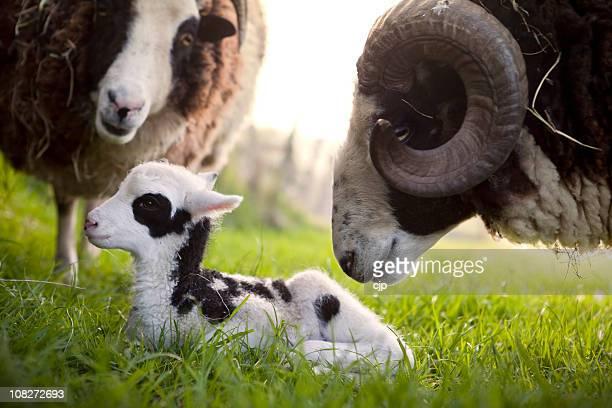 jacob sheep ram inspecting his lamb - ram animal stock photos and pictures