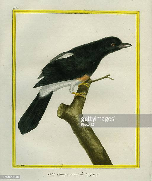Jacobin Cuckoo Clamator jacobinusJacobin CuckooGeorgesLouis Leclerc Comte of Buffon 'Natural History of birds fish insects and reptiles' coloured and...