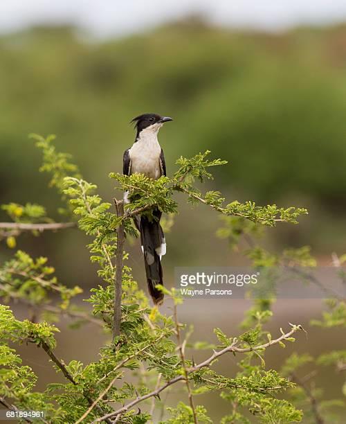 Jacobin Cuckoo, Oxylophus jacobinus, Kruger National Park, South Africa.