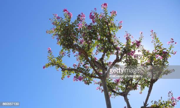 jacoranda tree - jacaranda ストックフォトと画像