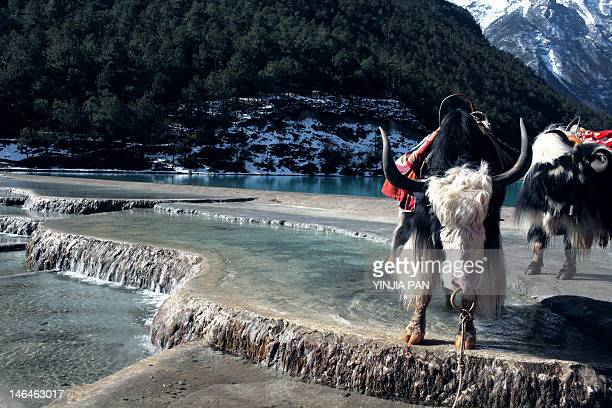 jade dragon snow mountain - yak stock pictures, royalty-free photos & images