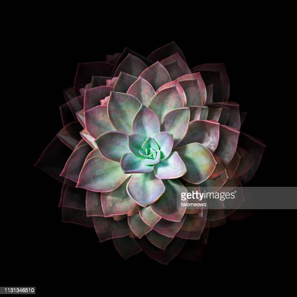 jade lotus cactus plant still life photography - succulent stock pictures, royalty-free photos & images