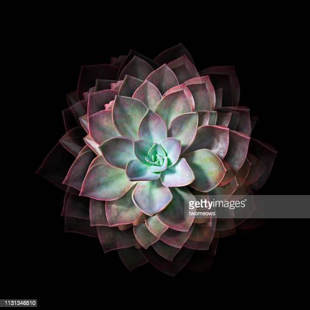 jade lotus cactus plant still life photography - fiore di loto foto e immagini stock