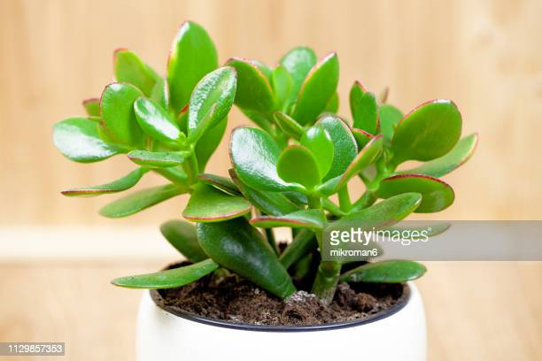 jade plant, lucky plant, money plant or money tree, (crassula ovata) - money tree stock photos and pictures