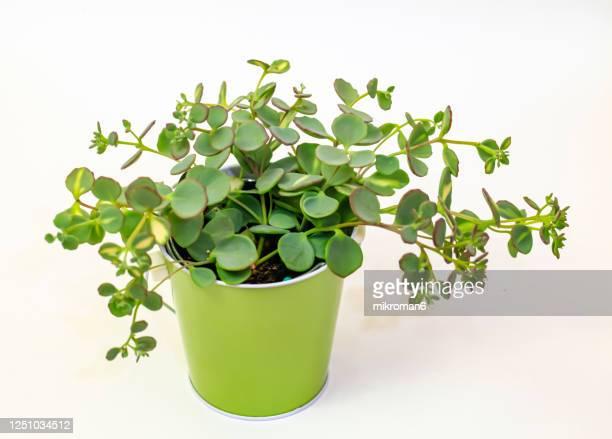 jade plant, lucky plant, money plant or money tree, (crassula ovata) - guyana stock pictures, royalty-free photos & images