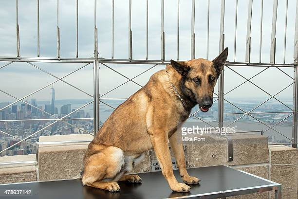 Jager the canine star of the new action adventure 'Max' visits the Empire State Building on June 26 2015 in New York City