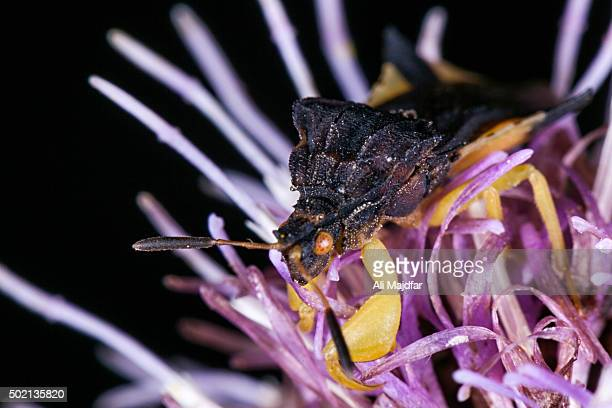Jagged Ambush Bug (Phymatidae)