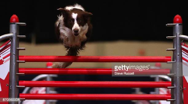 TORONTO ON NOVEMBER 4 Jagger a border collie leaps over a jump during the Super Dogs Show at the Royal Agricultural and Winter Fair at the CNE...