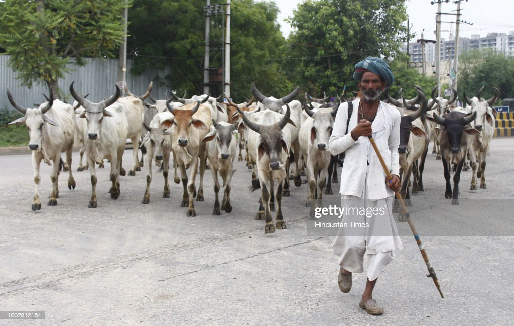 Nomad Cattle Herder From Rajasthan