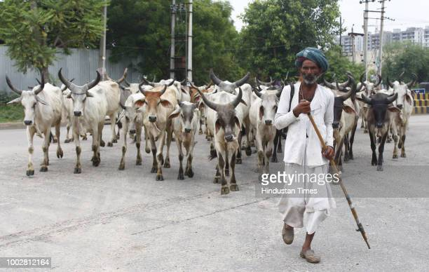 Jagmal a nomad cattle herder from Rajasthan crosses an intersection ahead of his herd near recently built apartment buildings Wazirpur on July 20...