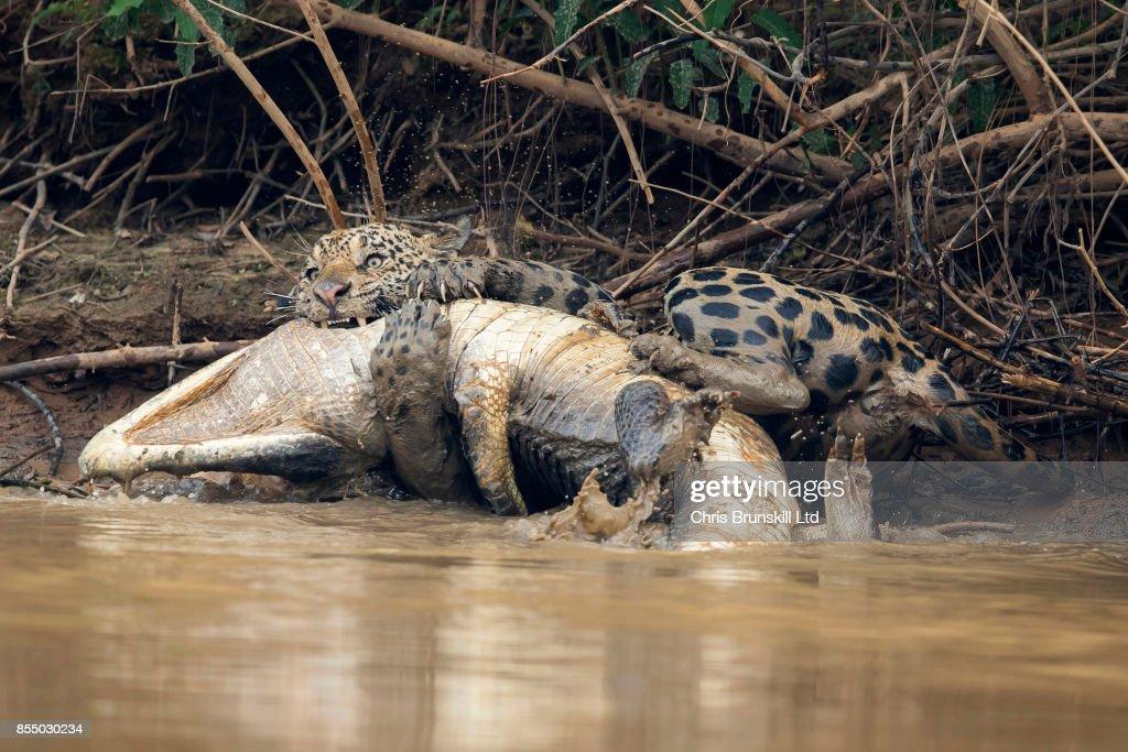Big Cat Ambushes Giant Reptile in Brazilian Pantanal : News Photo