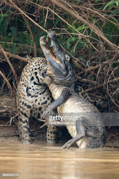 A jaguar ambushes a giant jacare caiman high up on the Three Brothers River in the Pantanal in Mato Grosso Brazil The cat wrestled with the reptile...