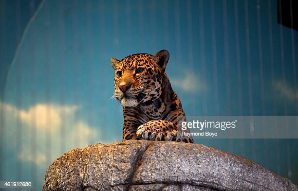 Jaguar at Lincoln Park Zoo in Chicago on January 15 2015 in Chicago Illinois