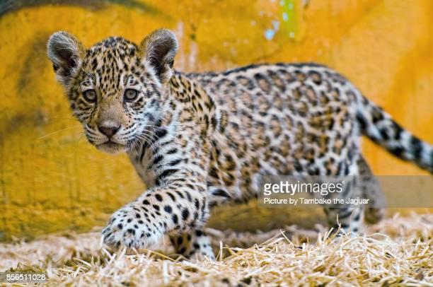 Jaguar baby walking in the hay