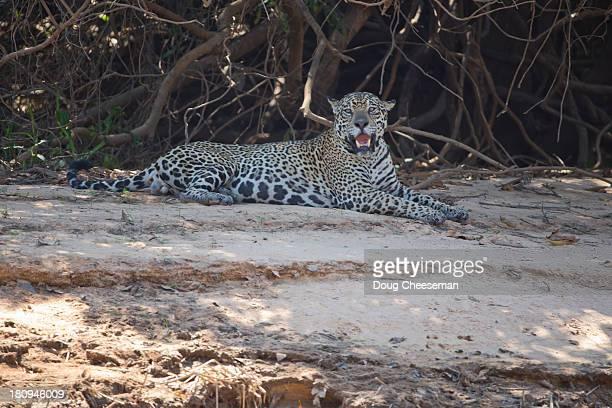Jaguar banks of the Cuiaba River