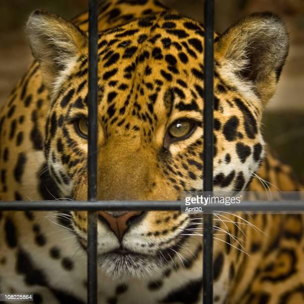 Jaguar Behind Cage Bars