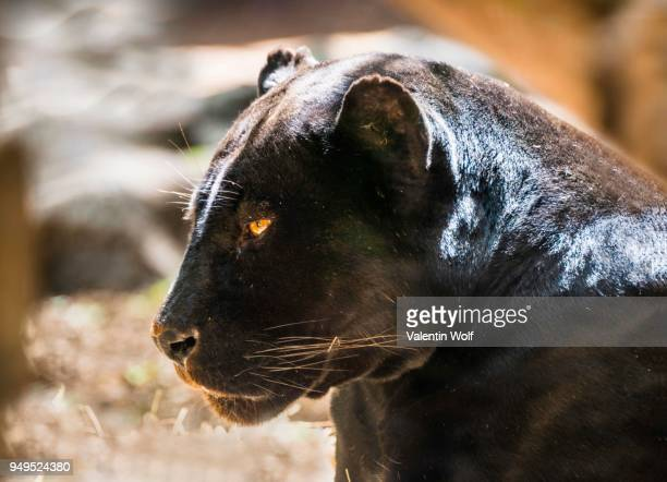 jaguar (panthera onca), black panther, animal portrait, adult, captive, occurrence south america - black panther face stock photos and pictures