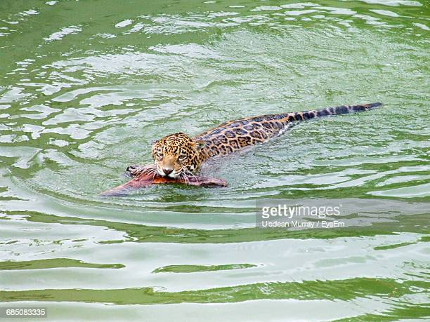 Jaguar Carrying Prey In Mouth On River