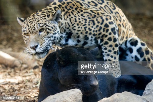 Jaguar Copulating With A Black Panther Stock Photo