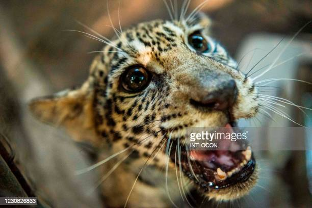 Jaguar cub growls at the National Zoo in Masaya, Nicaragua on January 27 after its arrival from the Duarka community in Tawira, Bilwi, in the North...