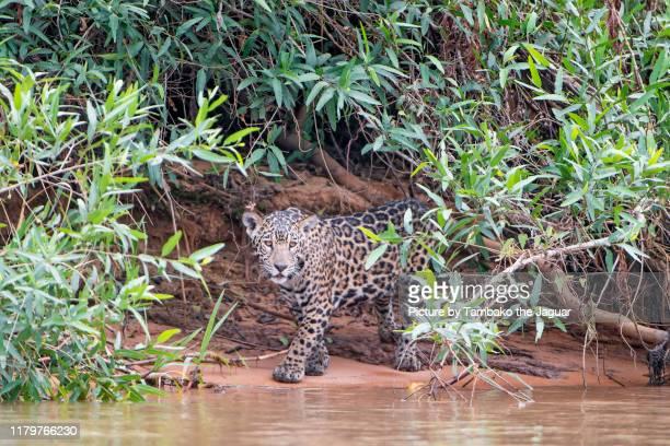 jaguar cub in the foliage - felino fotografías e imágenes de stock