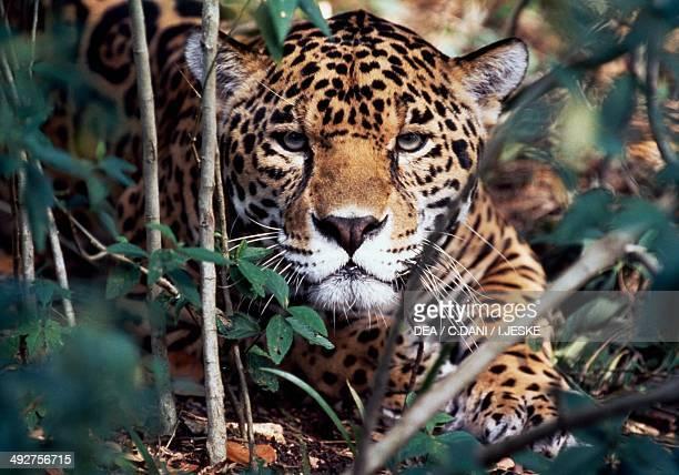 Jaguar Felidae