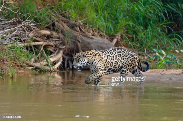 jaguar (panthera onca) going in water, cuiaba river, pantanal, mato grosso, brazil - cuiaba river stock pictures, royalty-free photos & images