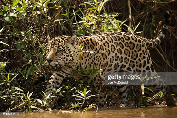 Jaguar Hunting along Brazilian River
