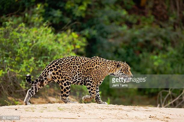 a jaguar hunting in the early morning. - animales cazando fotografías e imágenes de stock