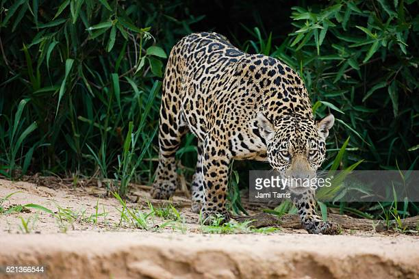 a jaguar hunting in the early morning. - jaguar stock pictures, royalty-free photos & images