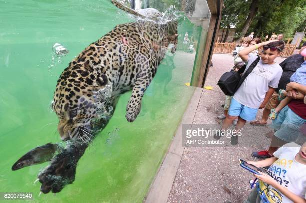 A jaguar hunts a fish as it swims in its enclosure at Pessac Zoo on the outskirts of Bordeaux on July 20 2017 Two jaguars 'Catalina' and 'Mato' two...