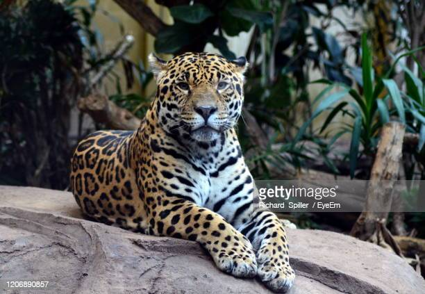jaguar  in a zoo - chester zoo stock pictures, royalty-free photos & images