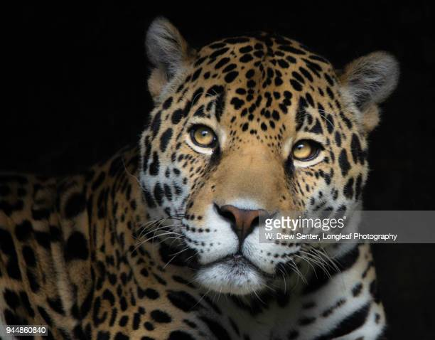 jaguar in cave - jaguar stock photos and pictures