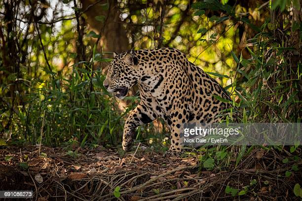 Jaguar In Forest