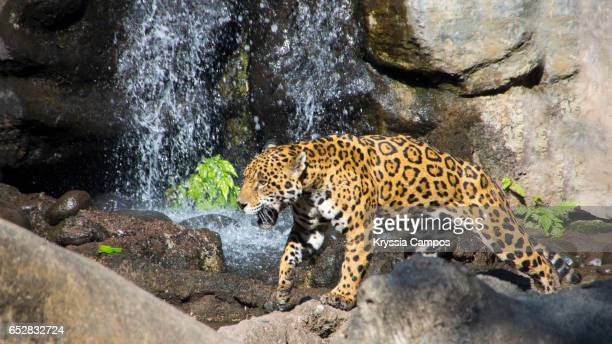 jaguar (panthera onca) in front of waterfall - jaguar stock photos and pictures