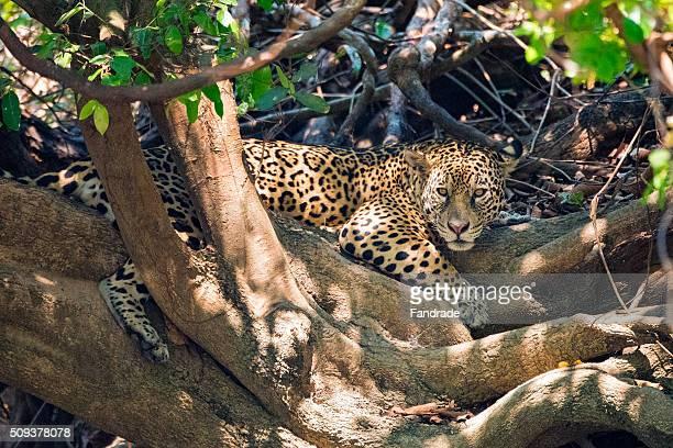 Jaguar ( panthera onca),  in Pantanal, Brazil