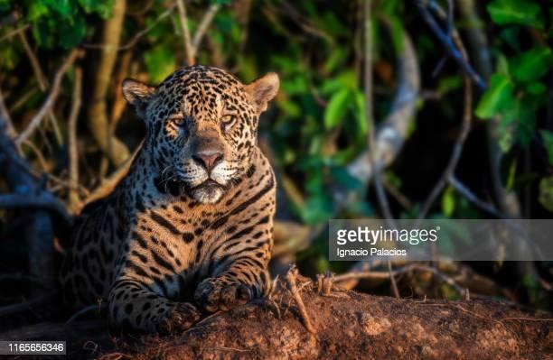 jaguar in pantanal wetlands, brazil - pantanal wetlands stock pictures, royalty-free photos & images