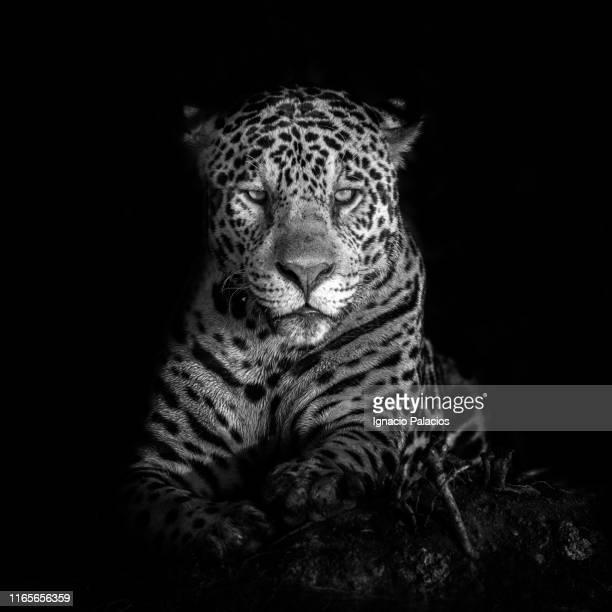 jaguar in pantanal wetlands, brazil - onça-pintada - fotografias e filmes do acervo